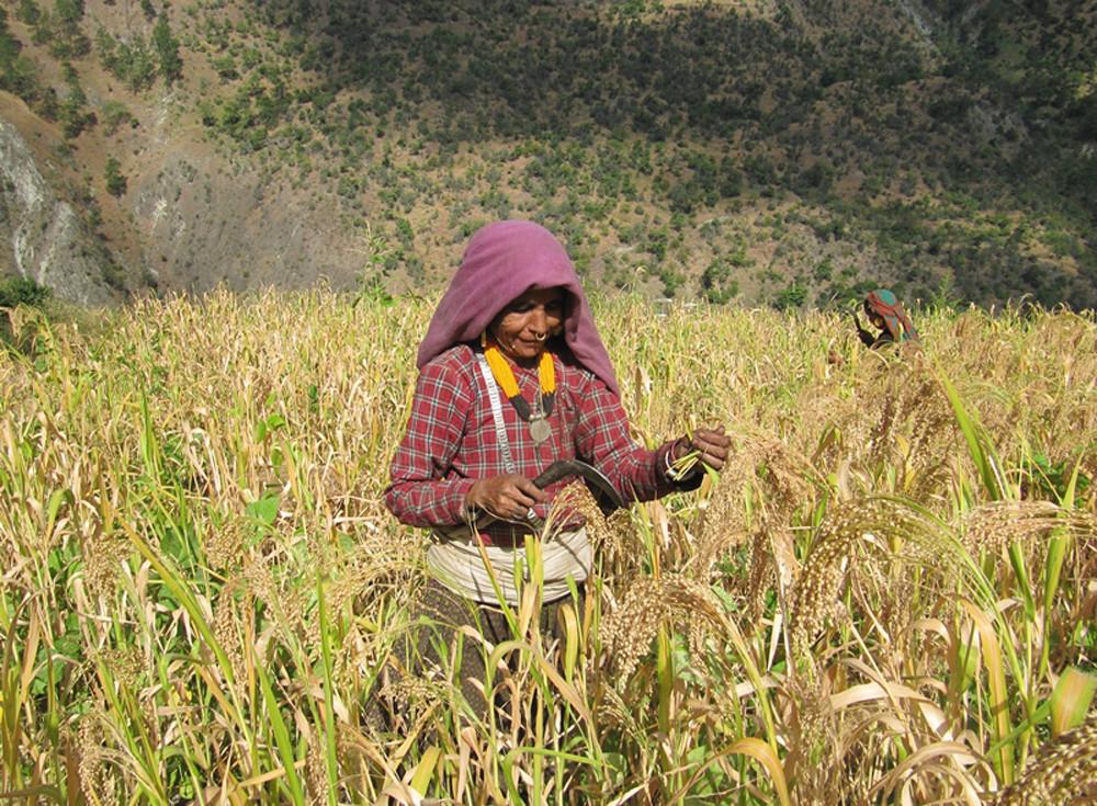 चिनुबाली टिप्दै मुगुका किसान