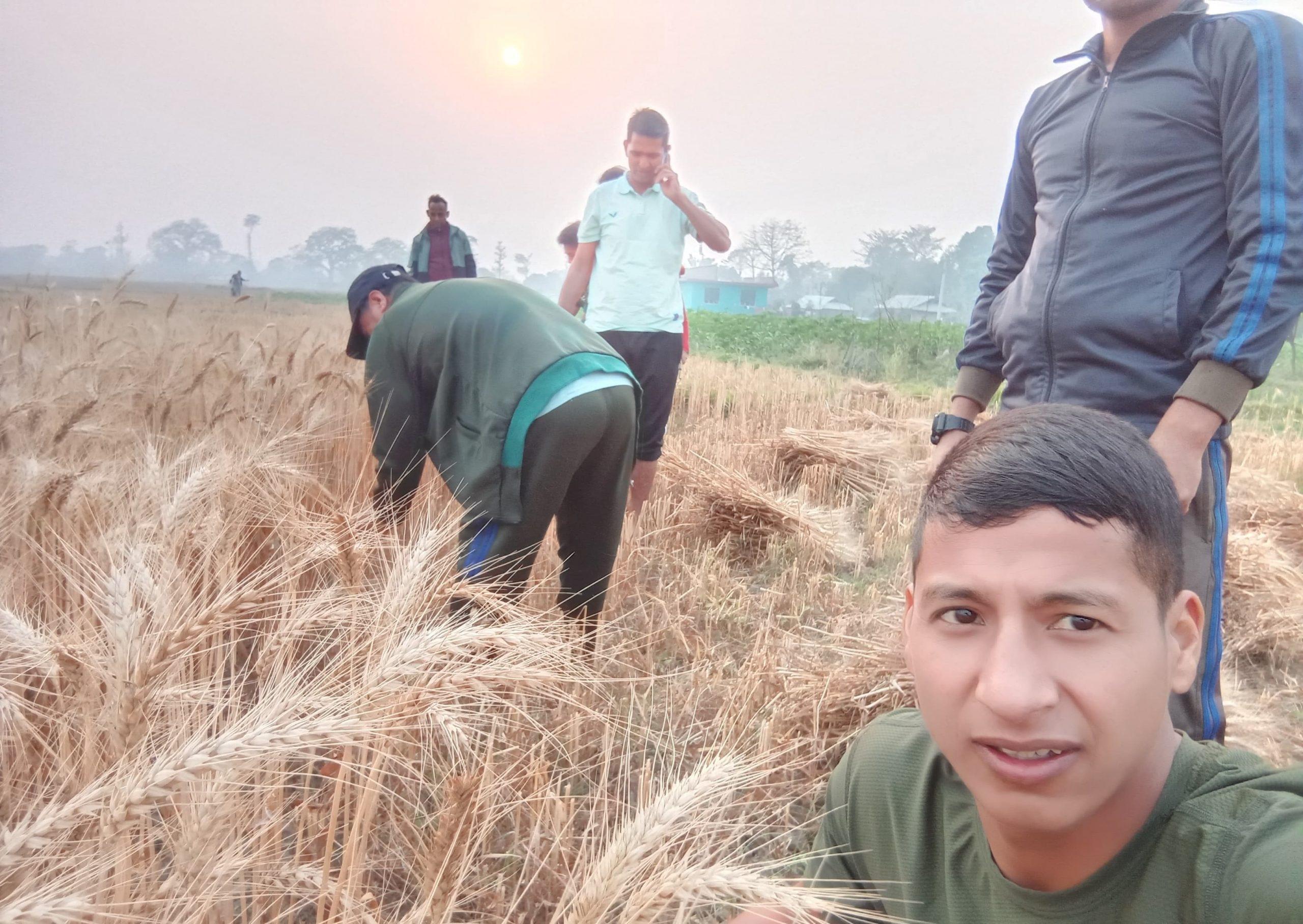 जननेता विप्लव किसानको खेतमा गहुँ काट्दै