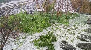 हावाहुरीले किसानलाइ क्षति